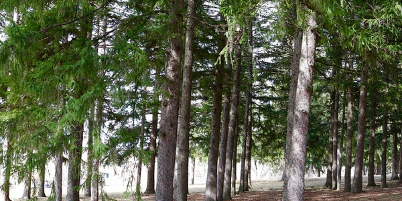 starin park treeline